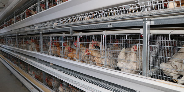 肉鸡养殖设备